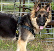 Fleece Padded Harness for German Shepherd with D-rings for cart/cargo attaching