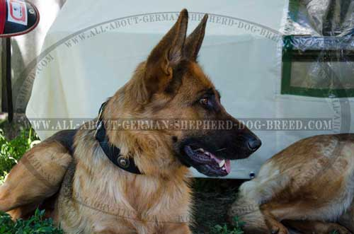 Weatherproof German Shepherd nylon collar