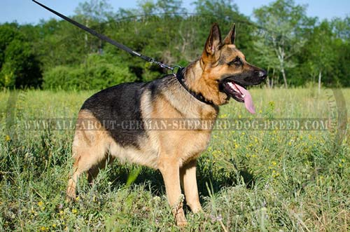 Adjustable German Shepherd leather collar