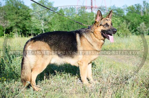 Adjustable German Shepherd braided leather collar