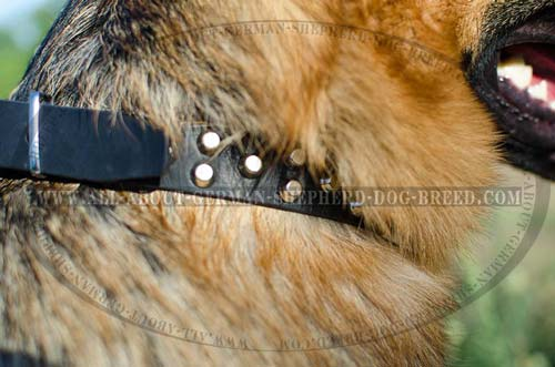 German Shepherd leather collar decorated with nickel pyramids