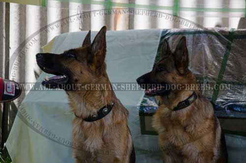 Chic German Shepherd leather collar for daily use