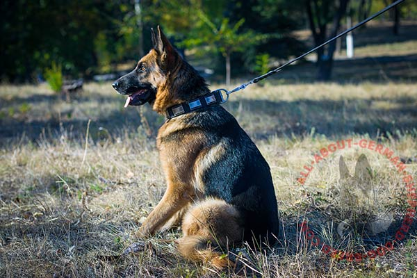 Stlylish leather German Shepherd collar for walking in style