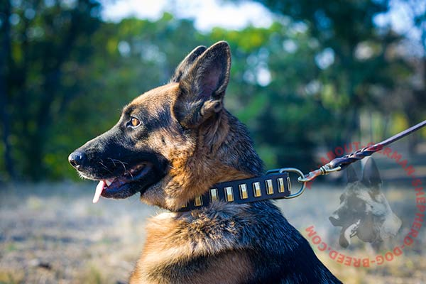 Showy leather German Shepherd collar for better control