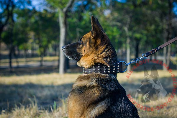 Exclusive leather German Shepherd collar with shiny pyramids