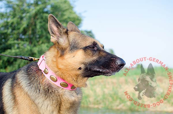 Pink leather German Shepherd collar with oval brass plates