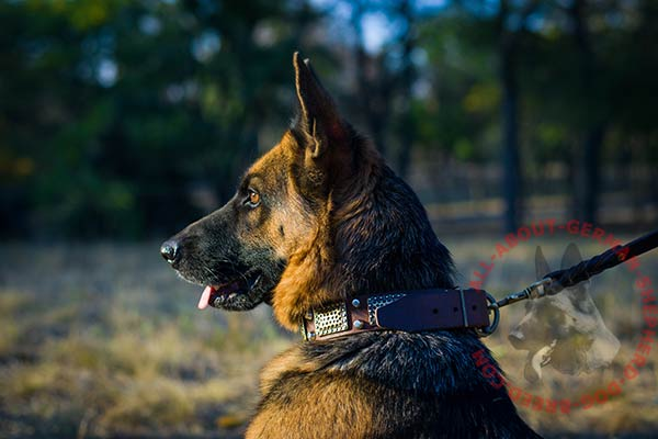 Walking leather German Shepherd collar with brass plates and studs