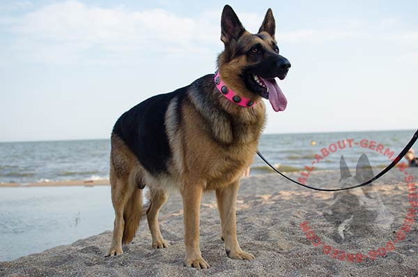 Awesome pink leather German Shepherd collar with adornment