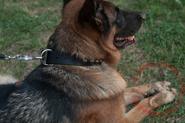 Reliable leather German Shepherd collar with nickel plated hardware
