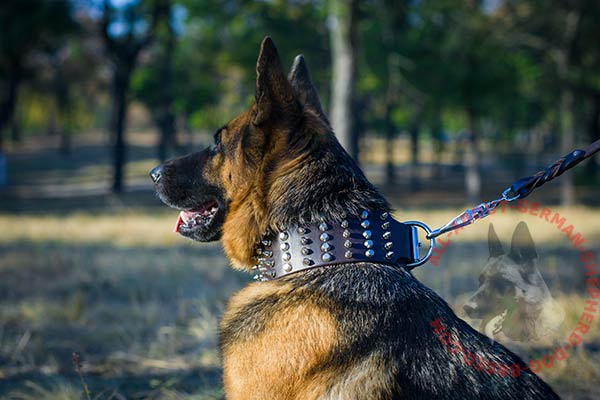 Exquisite leather German Shepherd collar with spikes and studs