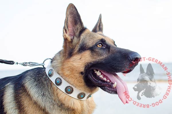 Walking leather German Shepherd collar with incrusted conchos