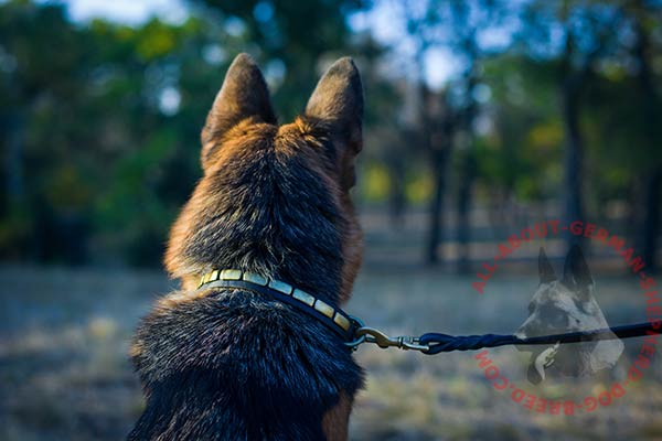 Comfy leather German Shepherd collar with steel old brass plated plated parts