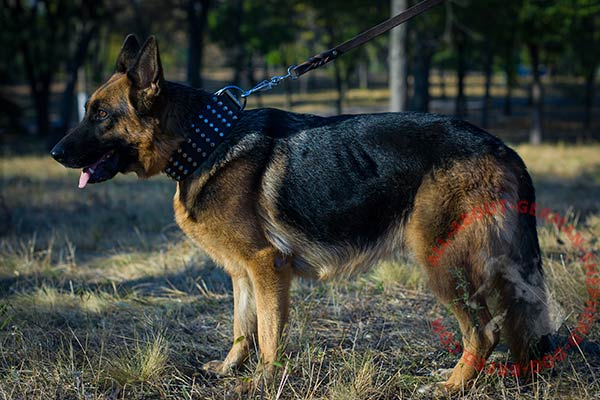 Leather canine collar for German Shepherd walking in style