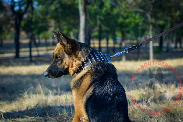 Reliable leather dog collar for German Shepherd with nickel plated hardware