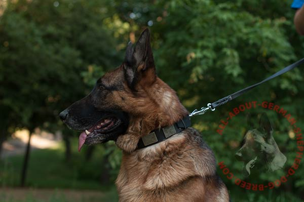 Leather dog collar for German Shepherd with nickel plated buckle and D-ring