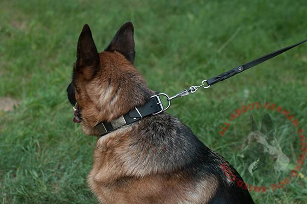 Leather dog collar for German Shepherd with nickel plated fittings