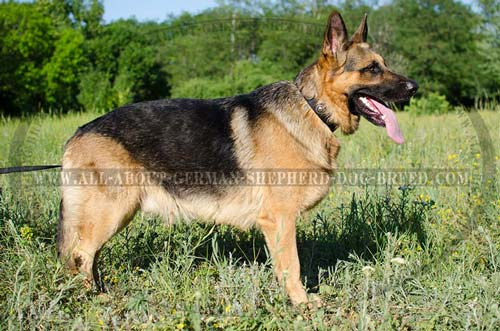 Weatherproof nylon German Shepherd collar