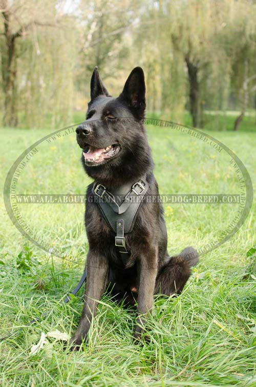 German Shepherd Leather Harness for Walking and Training