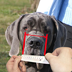 Measure your dog's snout correctly